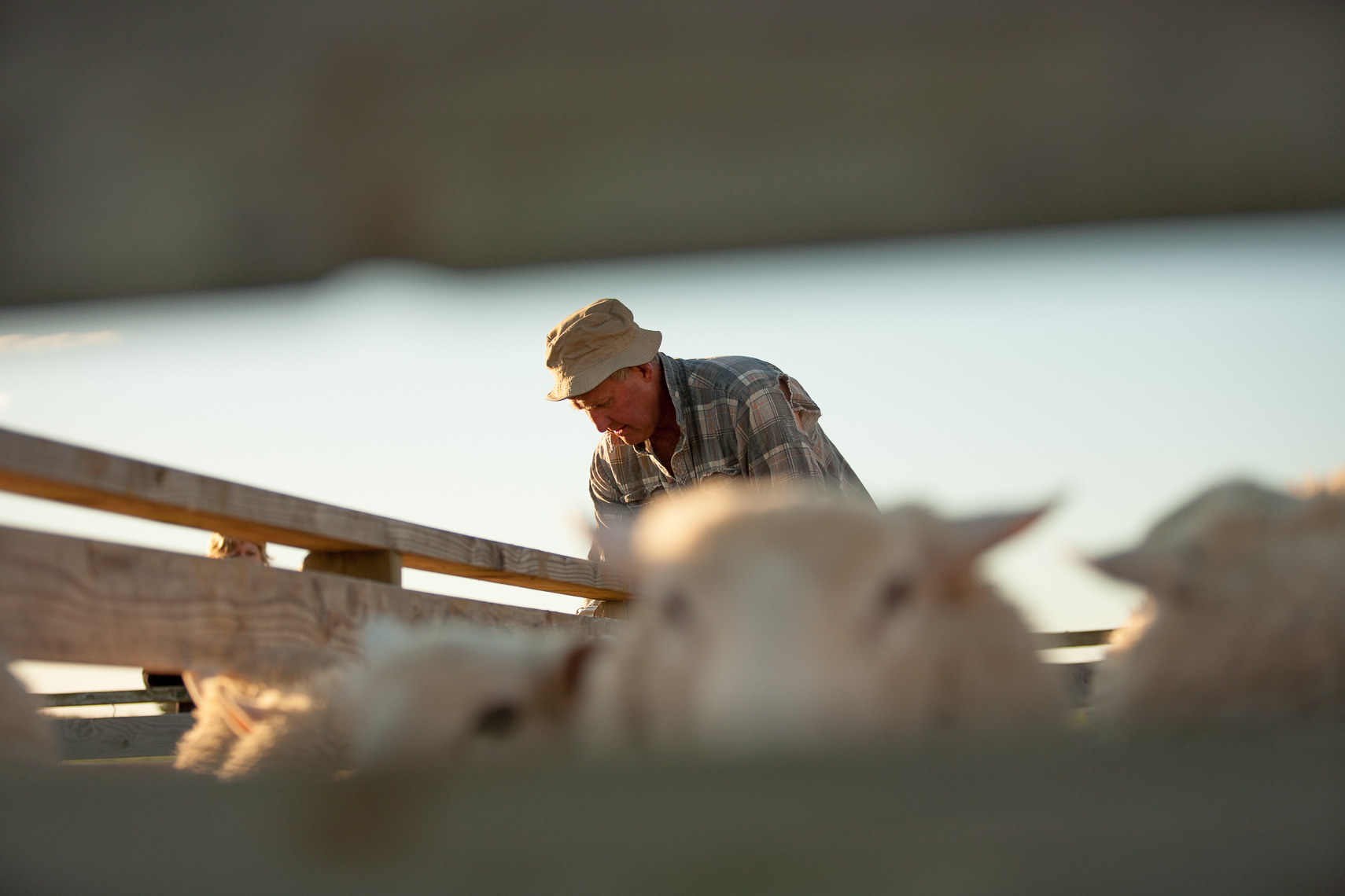 Bill French of Leelands lamb selecting stock in his yards by Paul Green Photographer
